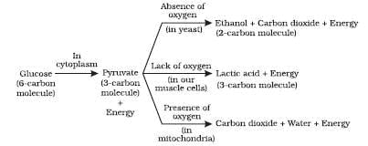 Glucose is broken down into a three carbon molecule called pyruvate